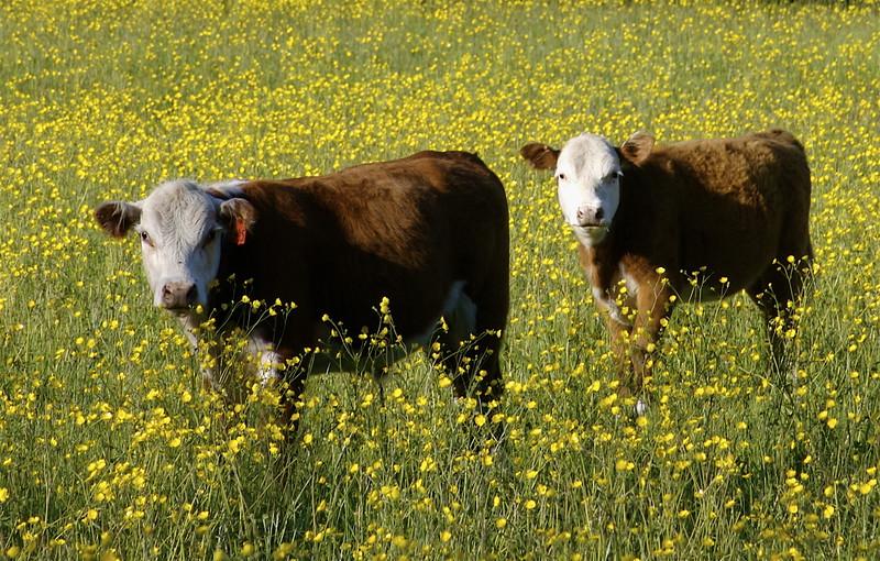 Spring calfs