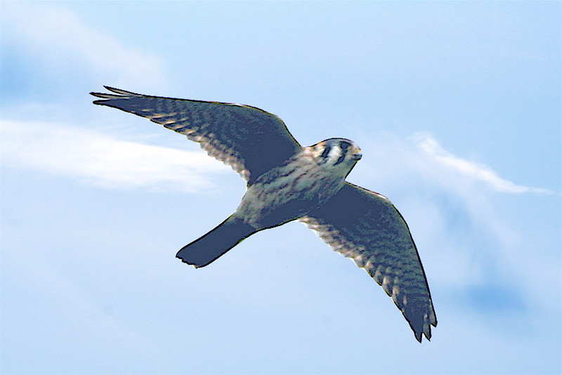 Peregrine or kestral hawk?