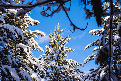 Snowy Pines-DRSP5935.jpg