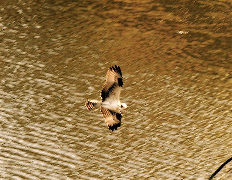 Baby Osprey in Sepia