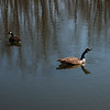 Geese_color