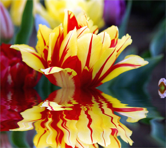 Tulip relected.jpg