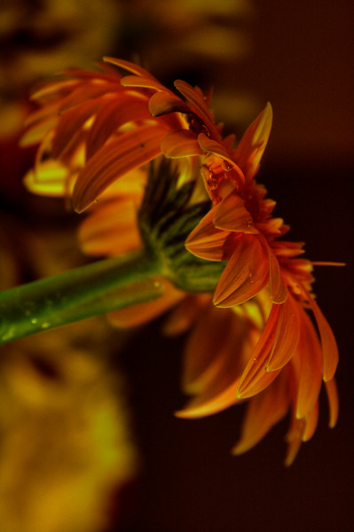 orange daisy2