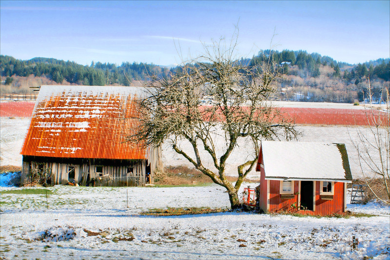 Blueberry field-red shed HDR2