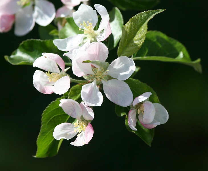 Apple Blossoms from our Gala tree