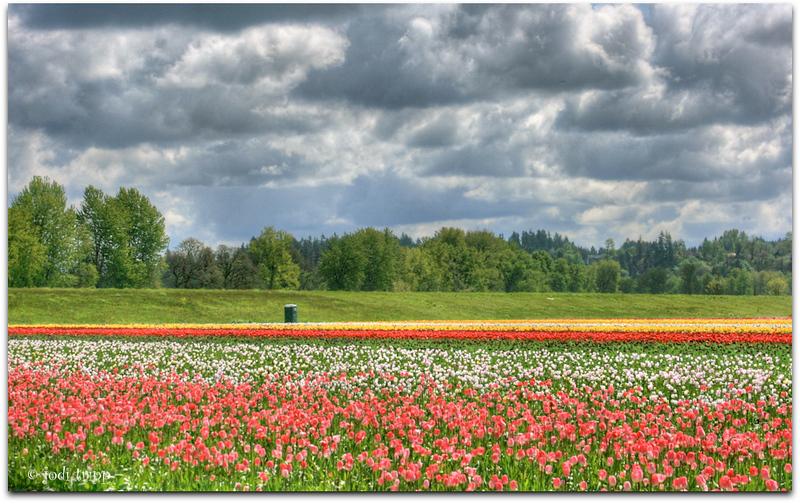 woodland tulip fields.jpg