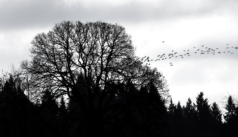 Tree Silhouette and birds