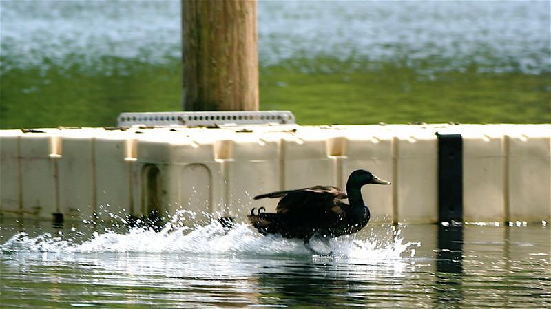 Duck wake