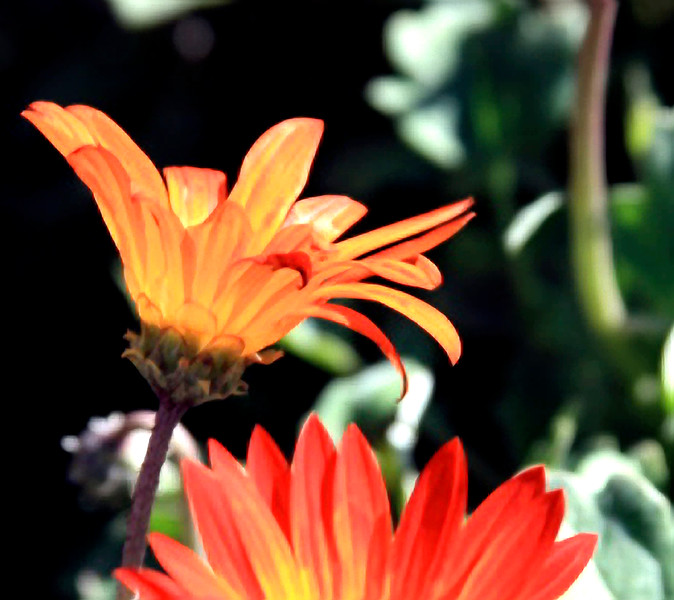 Orange daisies.jpg