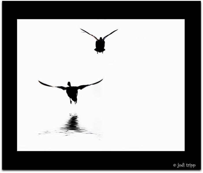 Black and white ducks.jpg