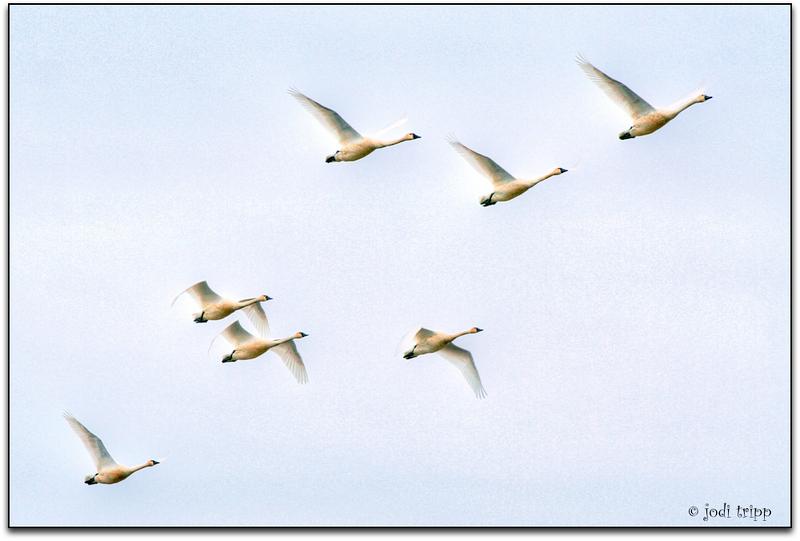 swans in flight re-done