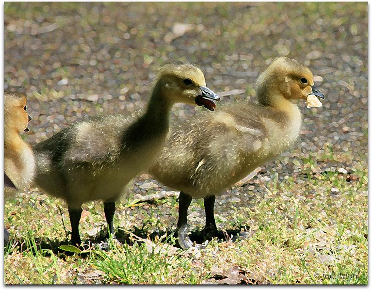 goslings enhanced.jpg