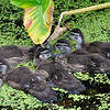 WoodDucklings_0005