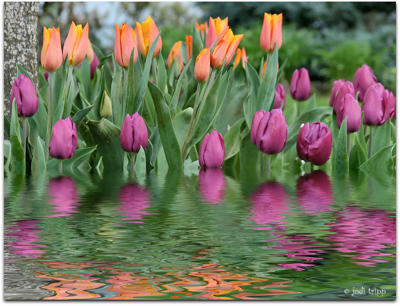 tulips orange and purple.jpg