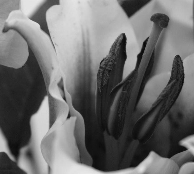 macro lily  B & white