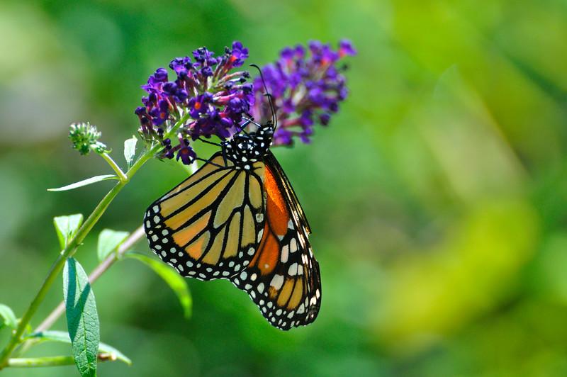 Butterfly_20090815_0029
