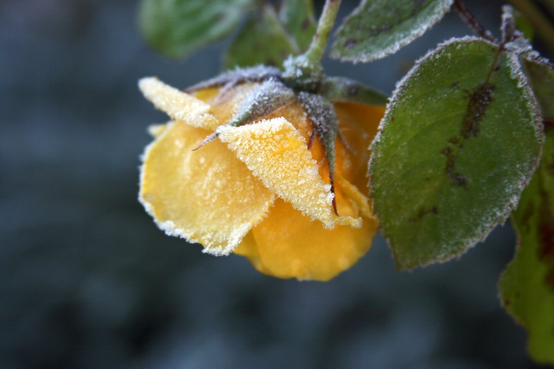 frosty morninG YELLOW ROSE.jpg