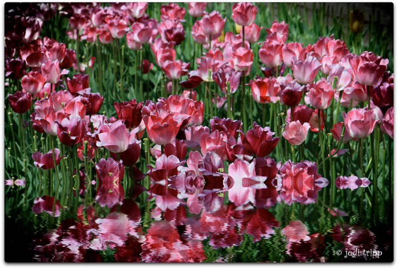 Dramatic Tulips.jpg