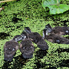 WoodDucklings_0003
