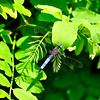 Dragonfly_20090814_0146