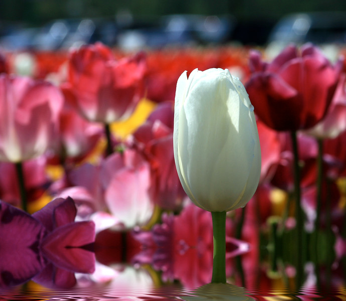 Bright and Colorful Tulips