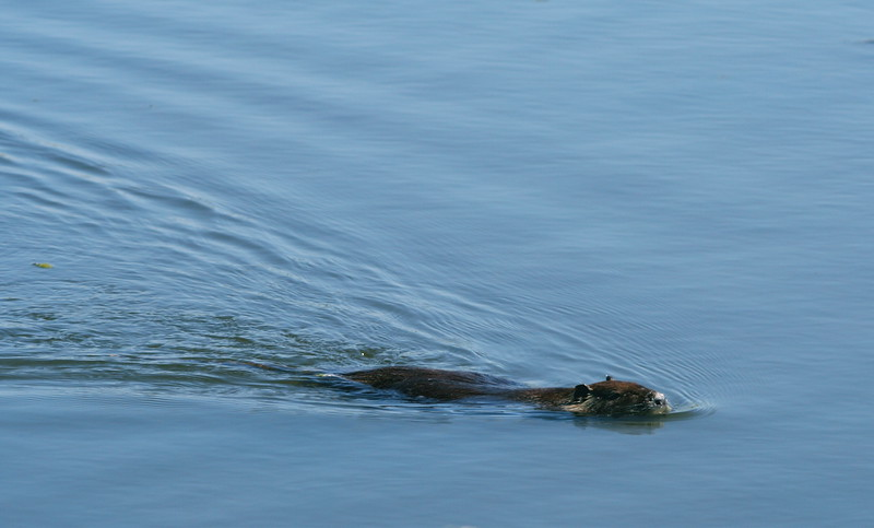 Look a Beaver!