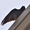 Crow_Crop