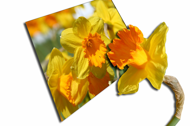 Daffodils Out of bounds