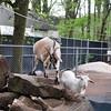Goat_20090429_0296