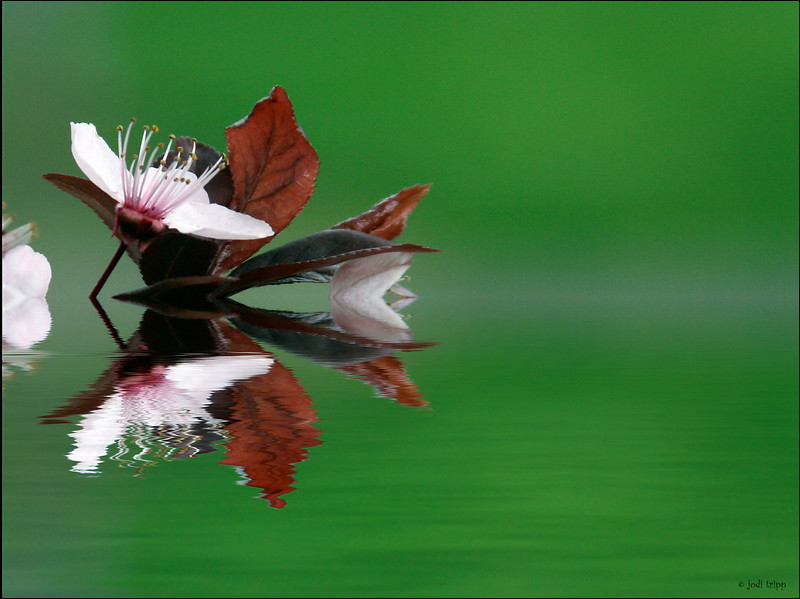 Cherry Blossom on green.jpg
