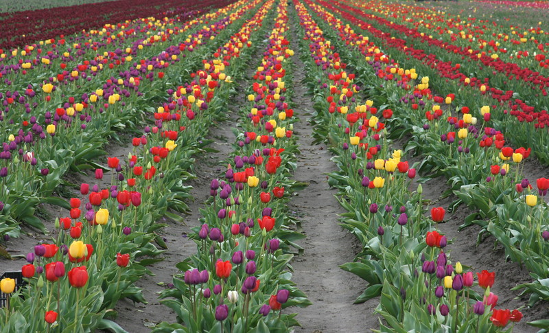 spring tulip fields in full bloom