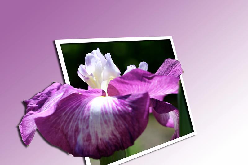 Iris5 copy.jpg