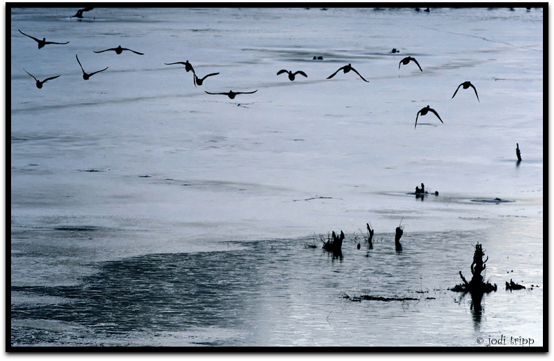 ducks over ice.jpg