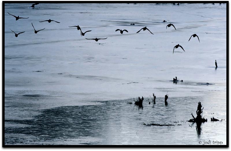 ducks over ice.jpg