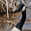 Geese_0009