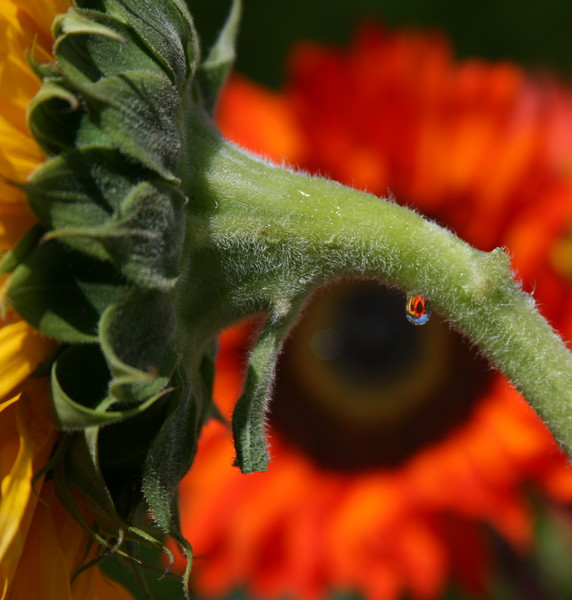 sunflowers in drop