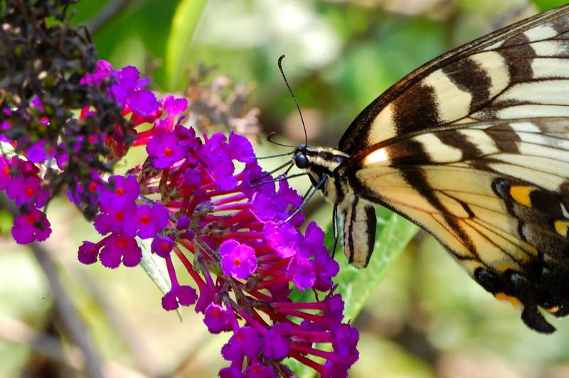 Butterfly_20090816_0134