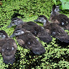 WoodDucklings_0004