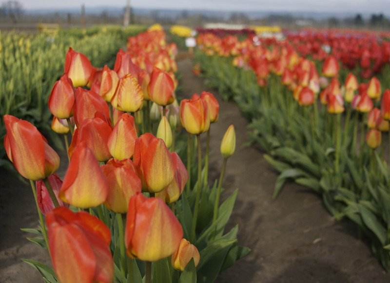 Tequila sunrise tulips