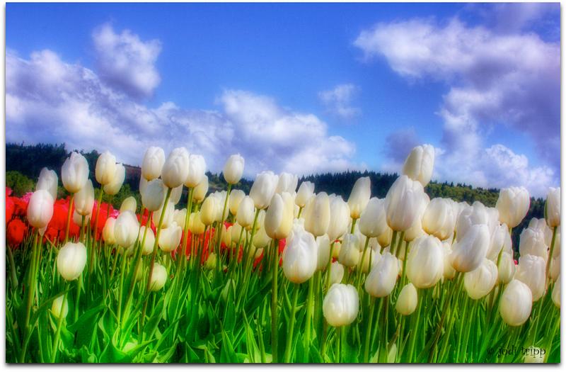 White Tulips Orton