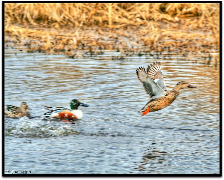 ducks in action