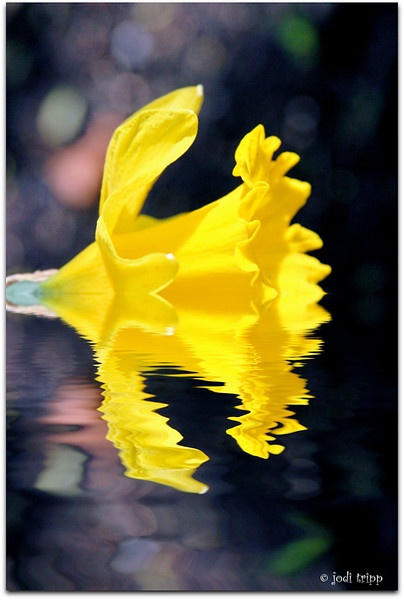 daffodil under water.jpg