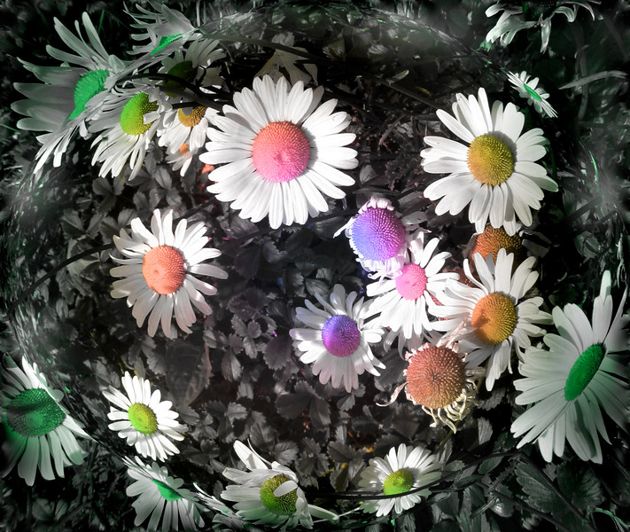 colored daisies