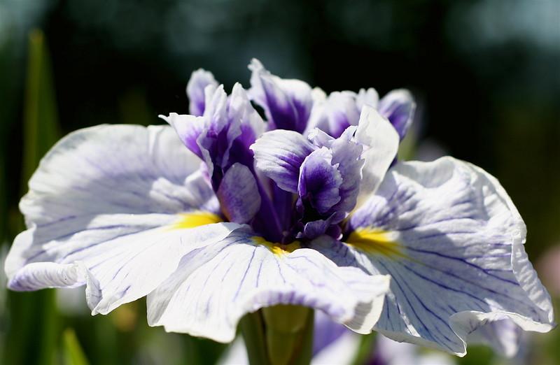 Iris (Tuptim)