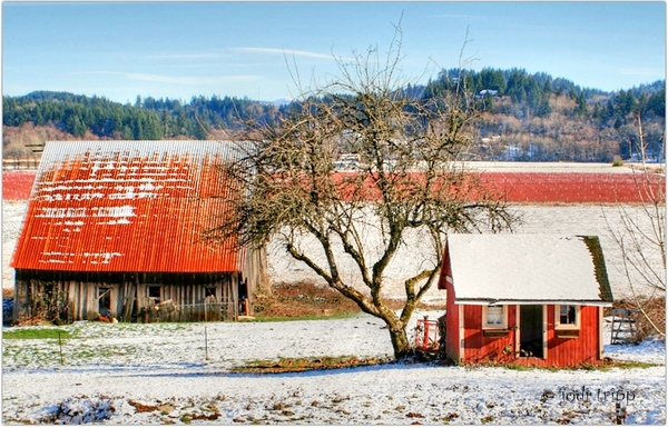 Snowy Barns in front of Blueberry Bushes