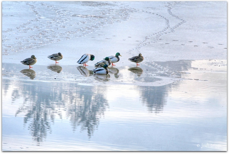 Ducks with reflected sky