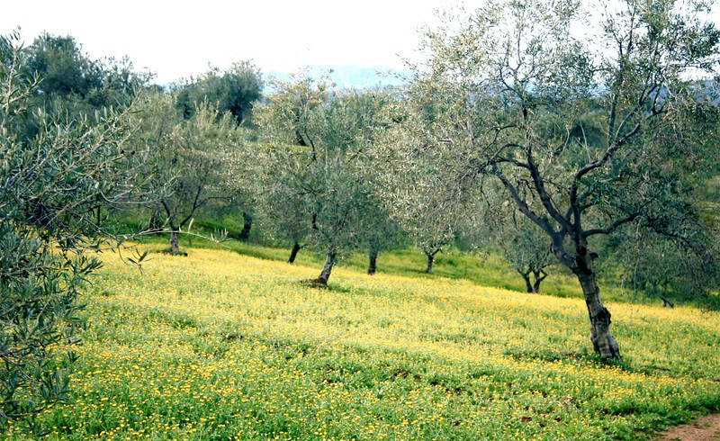 Olive trees in a yellow forrest