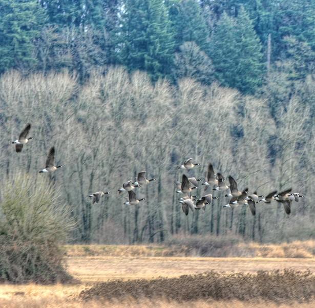 geese leaving