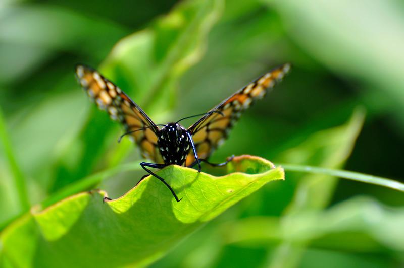 Butterfly_20090807_0014