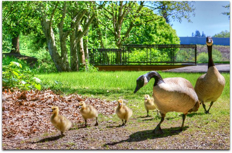 Geese family.jpg
